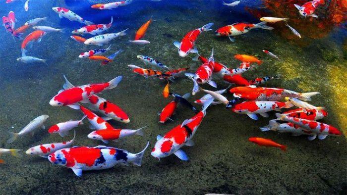 Chiêm bao thấy cá chép đang bơi lội cho thấy bạn sắp nhận được tin vui