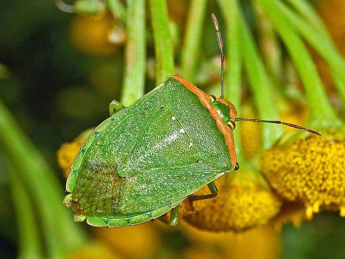 Nằm mộng thấy bọ xít cho thấy bạn hiện đang sở hữu một sức khỏe dồi dào