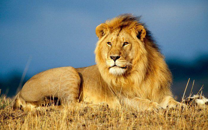 Nếu bạn mộng thấy sư tử ăn mồi cho hàm ý rằng sự nghiệp của đang vô cùng ổn định