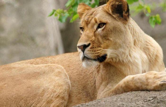 Sư tử cắn có thể coi là ác mộng đối với mỗi người khi nằm mơ