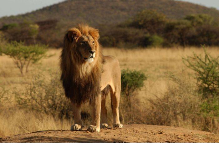 Giấc mộng sư tử gầm thể hiện rằng bạn là một người khá nghiêm túc