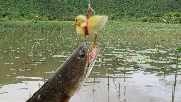 Nằm mơ thấy mình đang câu cá lóc cảnh báo những vấn đề có thể xảy ra trong thời gian sắp tới đối với người mơ