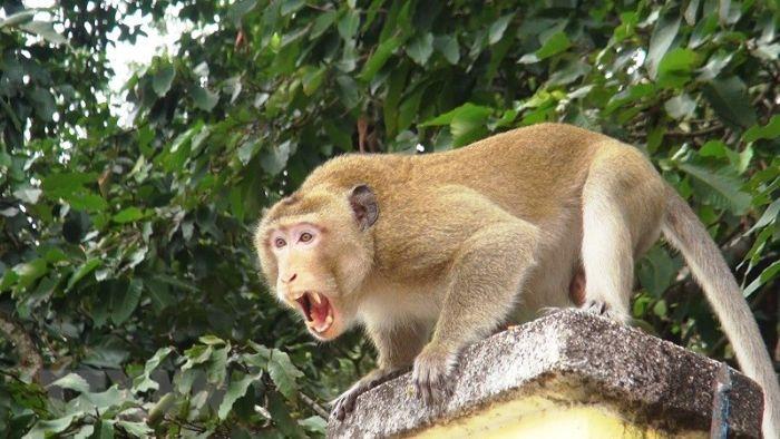 Chiêm bao thấy bị con khỉ đuổi là điềm báo không mấy tốt, ảnh hưởng đến cuộc sống của bạn