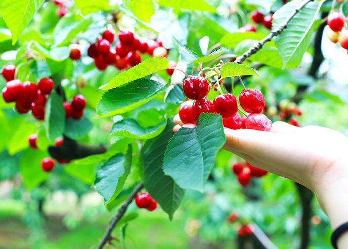Chiêm bao thấy cây có nhiều trái chứng tỏ bạn sẽ gặp được rất nhiều may mắn