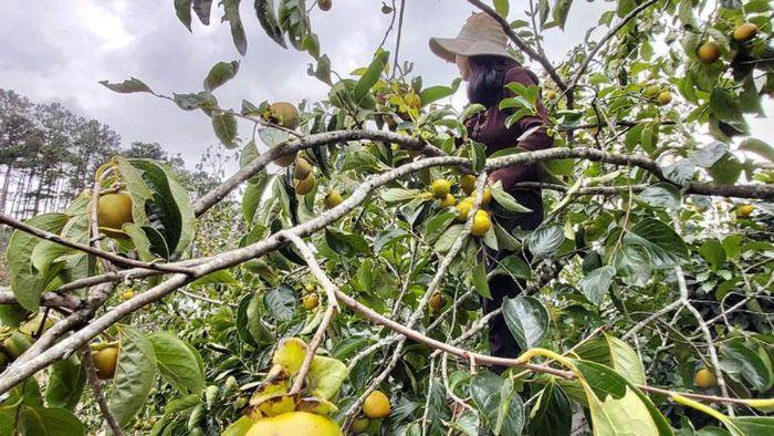 Nằm mơ thấy hái trái cây thì bị gãy cành chọn cặp số 20 - 26