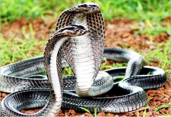 Mơ bắt được rắn hổ mang đánh con gì?
