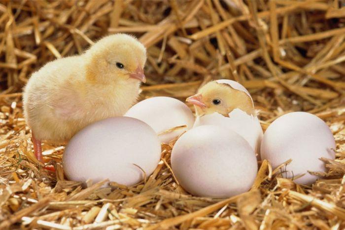 Chiêm bao thấy trứng gà nở được đánh giá là điềm báo tốt đẹp