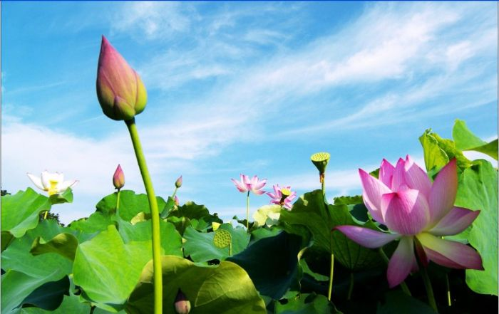 Chiêm bao thấy hoa sen khiến cho nhiều người cảm thấy vui mừng và sung sướng