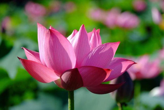 Chiêm bao thấy hoa sen hồng có ý muốn nhắc nhở bạn tình cảm vợ chồng gần đây có vẻ nguội lạnh