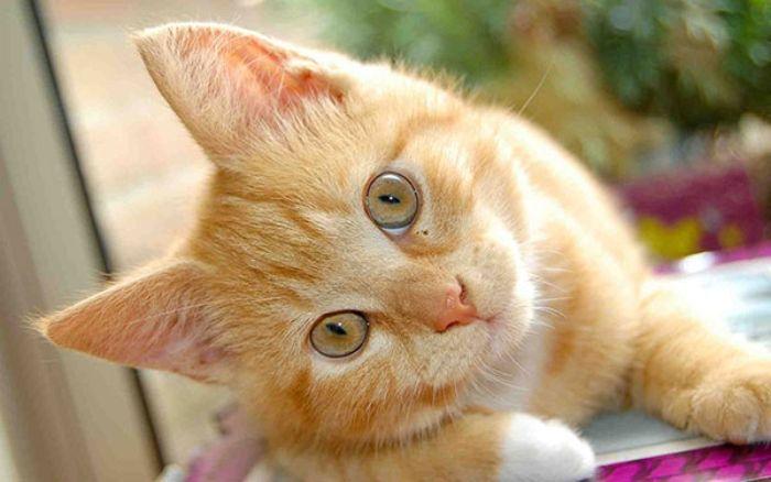Mơ thấy mèo vàng bị bỏ rơi là bạn sắp gặp được người tri âm tri kỷ