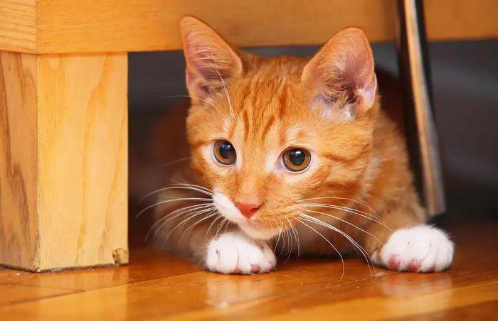 Mơ thấy nhặt được mèo vàng chọn ngay các số 05 - 38