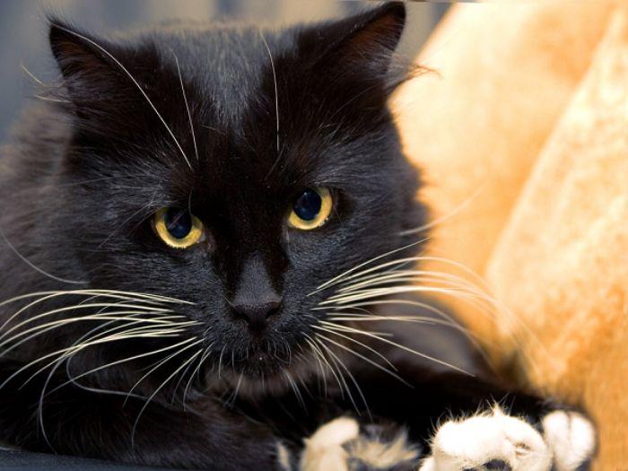 Hôn nhân với bạn không hề hạnh phúc nếu nằm mơ thấy con mèo đen bị bắt trộm