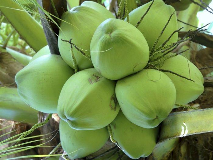 Xoay quanh giấc mơ về trái dừa có rất nhiều tình huống với điềm báo và con số khác nhau