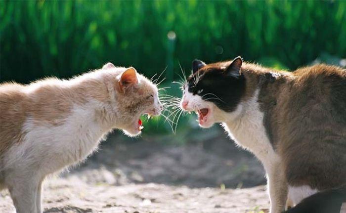 Bạn sẽ sở hữu một cuộc sống yên lành và hạnh phúc khi thấy mèo cắn nhau